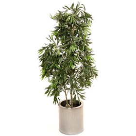 Ficus Longifolia Alii Weeping Fig Tree - 5ft £118 - Office Furnishings