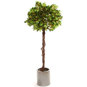 Ficus Variegated Green & White Tips Exotica Twisted Stem - 5ft £70 - Office Furnishings