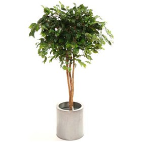 Ficus Natasja with Natural Stem - 4ft £68 - Office Furnishings
