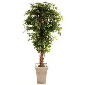 Hawaiian Ficus with Natural Stem - 6ft £0 - Office Furnishings
