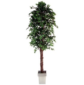 Ficus - 8ft £0 - Office Furnishings