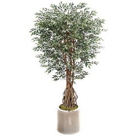 Green French Ficus - 7ft £0 - Office Furnishings
