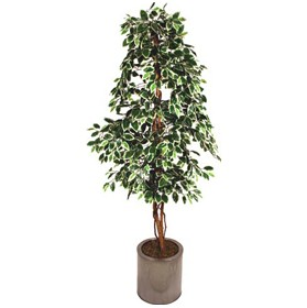 Ficus Nitida with Natural Stem - 6ft £0 - Office Furnishings