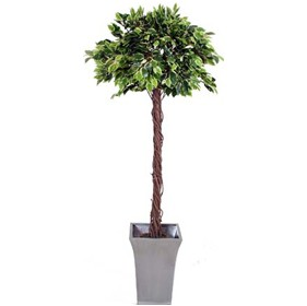 Variegated Ficus Exotica with Twisted Natural Stem - 5ft £97 - Office Furnishings