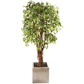 Variegated Ficus with Natural Stem - 6ft £0 - Office Furnishings