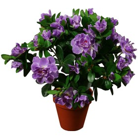 Purple Azalea - 1.5ft £0 - Office Furnishings