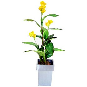Yellow Calla Lily -  4ft £0 - Office Furnishings