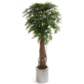 Ruscus Tree with Natural Stem - 6ft £124 - Office Furnishings