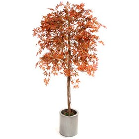 Red Japanese Maple - 6ft £0 - Office Furnishings