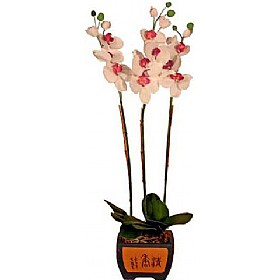 Orchid Phalaenopsis in Ceramic Pot £55 - Office Furnishings