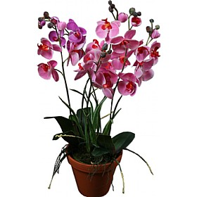 Orchid Phalaenopsis in Pot £0 - Office Furnishings
