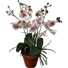 White Orchid Phalaenopsis in Pot £64 - Office Furnishings