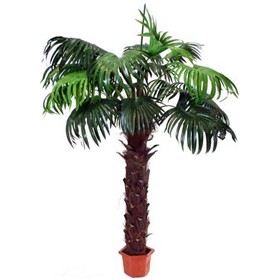 Fan Palm - 7ft 6in £0 - Office Furnishings
