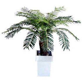 Cycas Palm - 4ft £116 - Office Furnishings