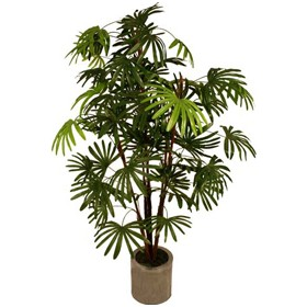 Rhapis Excelsa Palm Tree - 5ft £0 - Office Furnishings