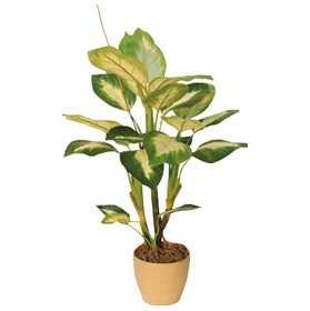 2ft Dieffenbachia £0 - Office Furnishings