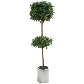 6ft Bay Laurel Topiary with Natural Stem £0 - Office Furnishings