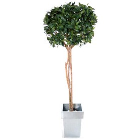 4ft Single Ball Bay Laurel Topiary £82 - Office Furnishings