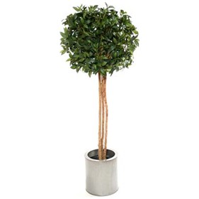 5ft Single Ball Bay Laurel Topiary with Natural Stem £103 - Office Furnishings
