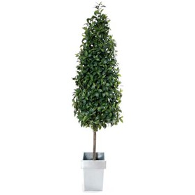 6ft Bay Laurel Pyramid with Natural Stem £0 - Office Furnishings