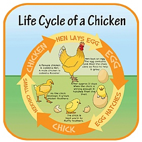 Life Cycle Of A Chicken Sign £0 - Education Furniture