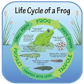 Life Cycle Of A Frog Sign £0 - Education Furniture