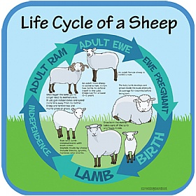 Life Cycle Of A Sheep Sign £20 - Education Furniture