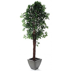 Midnight Weeping Fig Tree 8ft Ficus