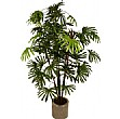 Rhapis Excelsa Palm Tree - 5ft